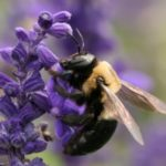 How to Get Rid Of Carpenter Bees? How to Kill Carpenter Bees at Home?