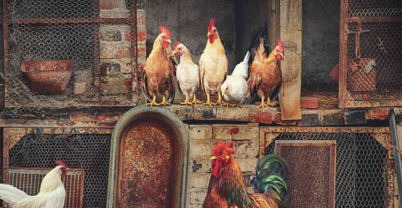 How to Keep Flies Out of Your Poultry Farm